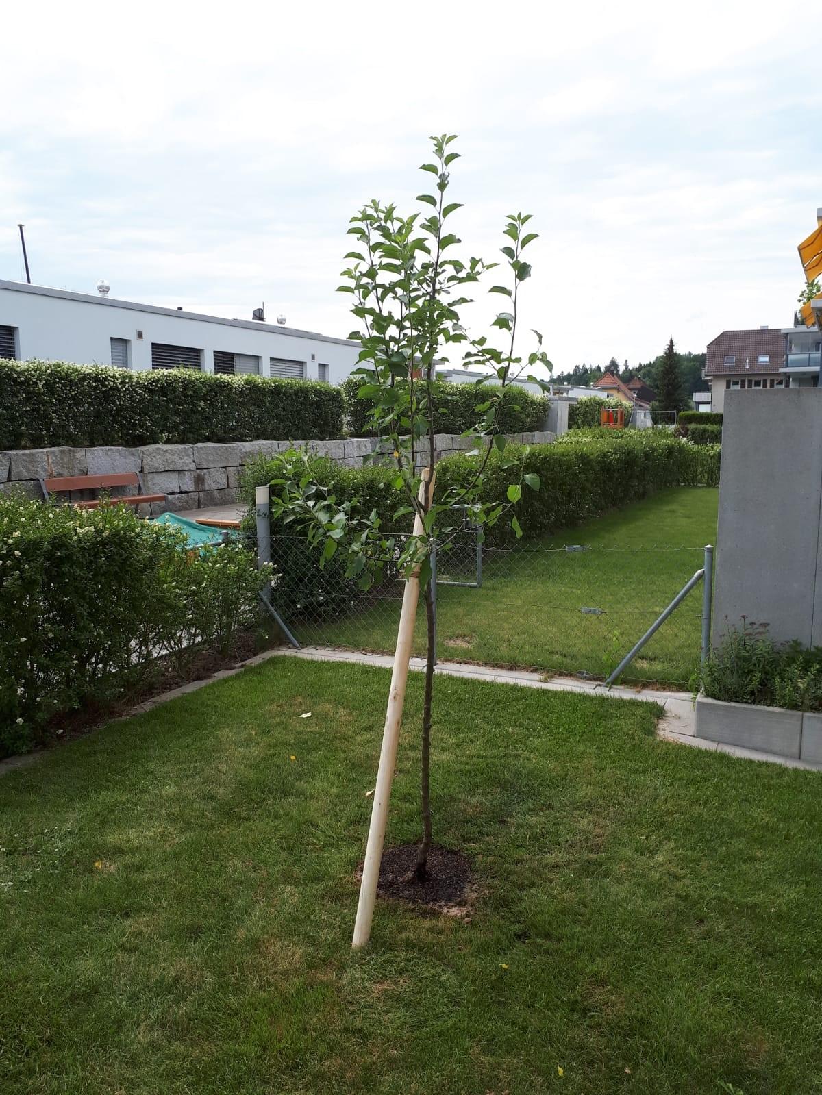 wir schenken ihnen einen baum jetzt wird gepflanzt burgherr gartenbau. Black Bedroom Furniture Sets. Home Design Ideas
